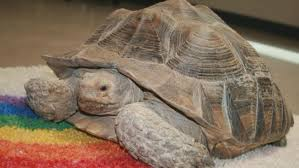 wandering tortoise to be moved to colorado reptile humane society wandering tortoise to be moved to colorado reptile humane society cbs denver