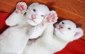 baby white lion with blue eyes. While Naturally Occurring White Lion Cubs Are Rare Because The Cause Of Their Colour Is Inside Baby With Blue Eyes