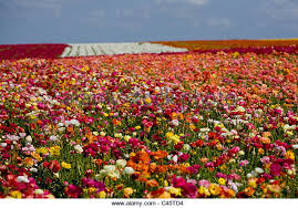 the flower fields in carlsbad ca in full bloom stock image