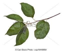 green apple tree leaves. stock photo - apple tree branch with green leaves o
