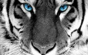 white tiger with blue eyes tattoo. Simple Eyes Inside White Tiger With Blue Eyes Tattoo