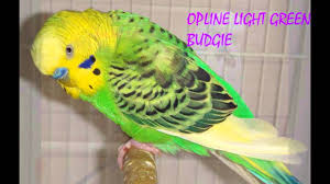 Budgies Veriety Colors And Their Names