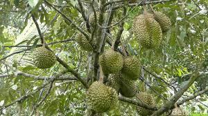 pupuk buah durian