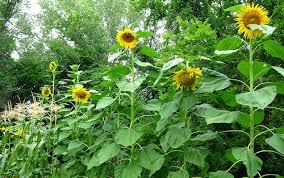 Littlebigharvest Our Sunflower HouseSunflower House
