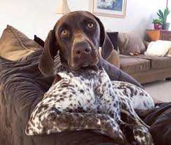 german shorthaired pointer breed info