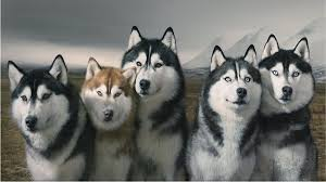 most beautiful dog breeds in the world. Brilliant The Siberian Huskies  Beautiful Dog Breed Intended Most Beautiful Dog Breeds In The World E
