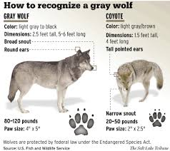 Wolf Vs Dog Size Chart Chart Helps Viewers Distinguish Wolf From Coyote The
