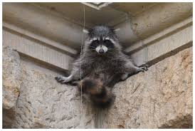 Raccoons will climb into your home