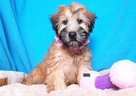 soft coated wheaten terrier breed
