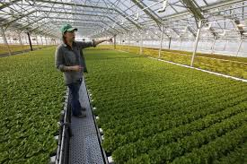 University of Arizona grad grows 10 million heads of lettuce without soil |  Science | tucson.com