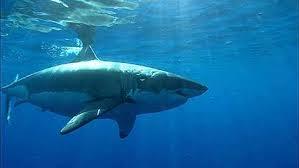baby hammerhead sharks for sale. Modren Sharks Hammerhead Shark Inside Baby Sharks For Sale