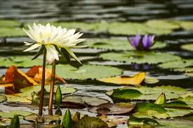 Whats The Difference Between Water Lilies And Water Lotus