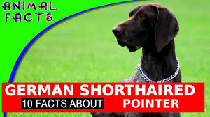German Shorthaired Pointer Dogs 101 Fun ...