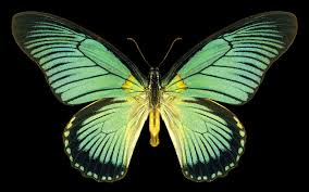 big pictures of butterflies.  Butterflies Great Blue Zalmoxis Iteruszalmoxis Africa Intended Big Pictures Of Butterflies B
