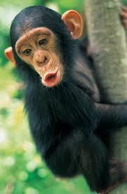 """Résultat de recherche d'images pour """"chimpanzé"""""""