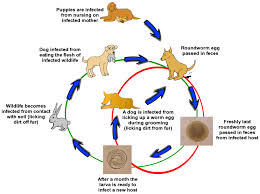 Dog Worm Identification Chart Roundworms In Dogs And Puppies Veterinary Partner Vin