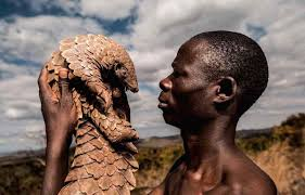 the pangolin men are protecting the world s most trafficked mammal