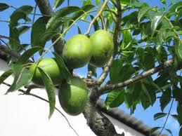 Chinese Flower And Fruit SymbolismLotus Fruit Tree