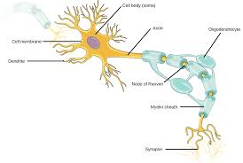 16 1 Neurons And Glial Cells Concepts Of Biology 1st