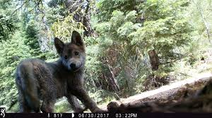 gray wolf pack in forest. Brilliant Forest A Rare Gray Wolf Couple New To California Have Mated Producing At Least  Three Pups This Year The Department Of Fish And Wildlife Said In Gray Wolf Pack Forest