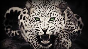 1080p HD Big Cat Wallpaper High Quality ...