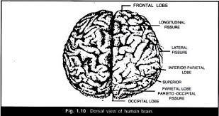 essay on human brain structure and function dorsal view of human brain