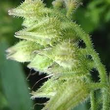 Symphytum asperum (prickly comfrey): Go Botany