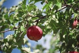 Tis The Season For Dormant Fruit Tree Sprays  Overall GardenerDormant Fruit Trees