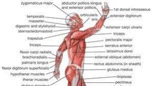 Human muscle system, the muscles of the human body that work the skeletal system, that are under voluntary control, and that are concerned with movement, posture, and balance. Human Body Organs Systems Structure Diagram Facts Britannica