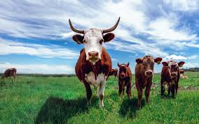 Image result for the year of oxen