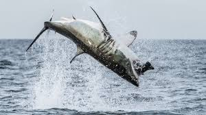 great white shark jumping. Plain Great In Great White Shark Jumping I