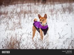 Basenji Dog Walking Image & Photo (Free ...