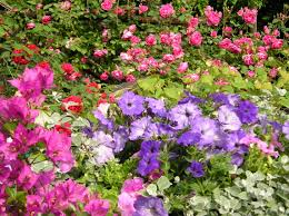 bougainvillea petunia roses plant flower flowering plant flora shrub annual plant groundcover garden grass herbaceous plant
