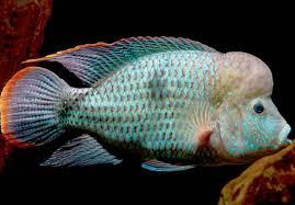نتیجه تصویری برای ماهی گرین ترور