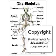 Human Skeleton Wall Chart The Skeleton