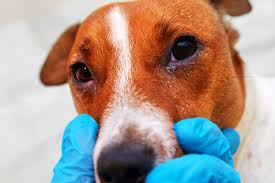 can dogs get pinkeye from humans in