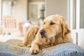 hidden personality traits revealed through favorite dog breeds golden or retriever y and adventurous
