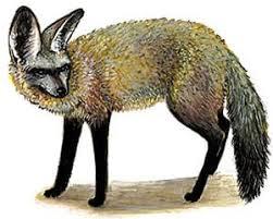 Большеухая лисица лисица большеухая лиса otocyon megalotis  большеухая лисица otocyon megalotis фото фотография