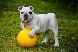 Growth Bulldog Puppy Weight Chart Bulldog