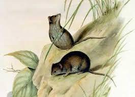 Planigale maculata