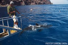 shark wrangler luis godinez talks about attracting great whites  luis godinez shark wrangler