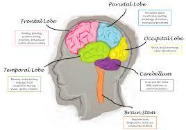 Human Brain Functions Chart Human Brain
