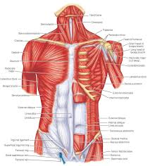 Stomach Muscle Chart One Of The Most Comprehensive Flow Charts Of Muscles And