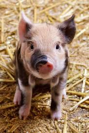 black pig, agriculture, animal, baby ...