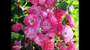 Amazing and most Beautiful Rosa 'Angela' Flowers - YouTube