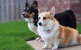 I Am The Corgi King So You Want A Corgi Huh A Guide To