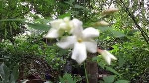 Highly Scented Jasminum officinale in Bloom - YouTube