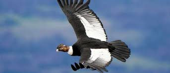 Top 10 What Are The Largest Birds Of Prey Bbc Science