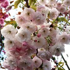 Cherry Blossom Light Tree Bunnings Prunus Shogetsu Blushing Bride Flowering Cherry Tree