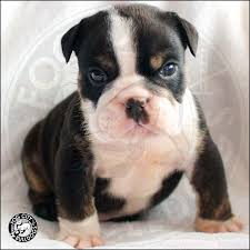 black tri akc english bulldog puppy for
